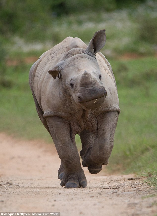 Drawn rhino baby rhino Mother baby its alive: on