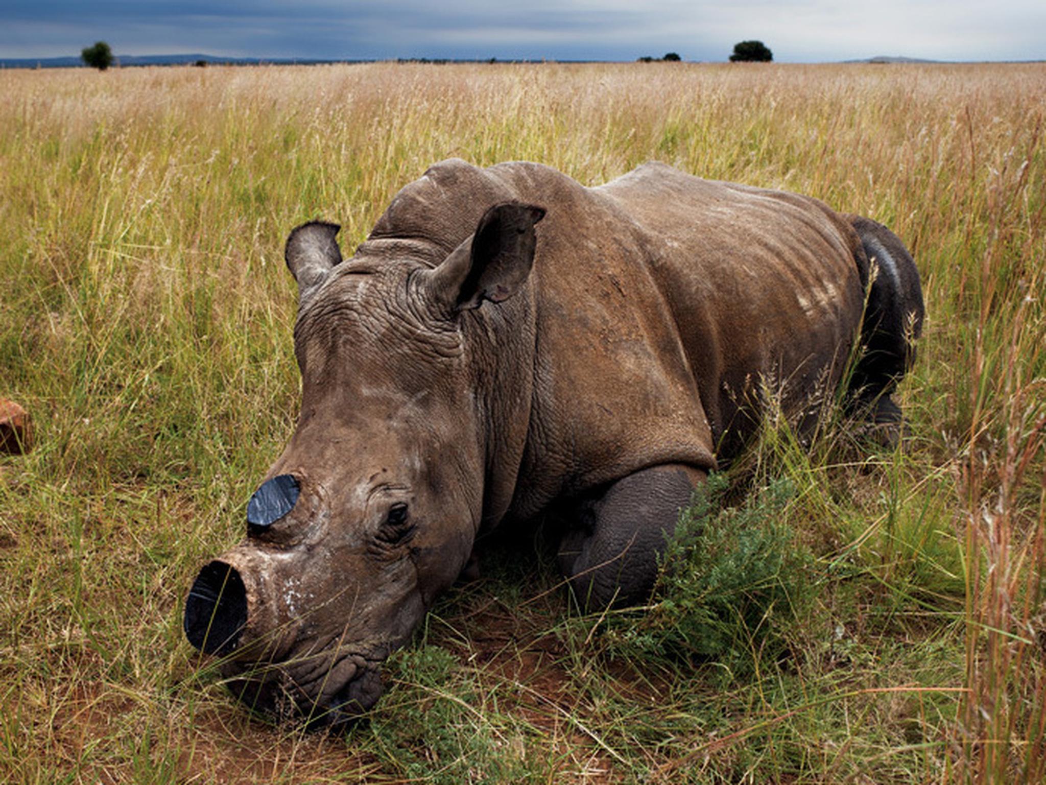 Drawn rhino battle Rhino For after to decrease