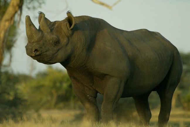 Drawn rhino battle Beverly the black Rhino Extinction