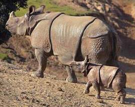 Drawn rhino battle Indian Tetrapod i jpg rhinos