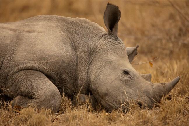 Drawn rhino battle Beverly the Rhino Rhino Extinction