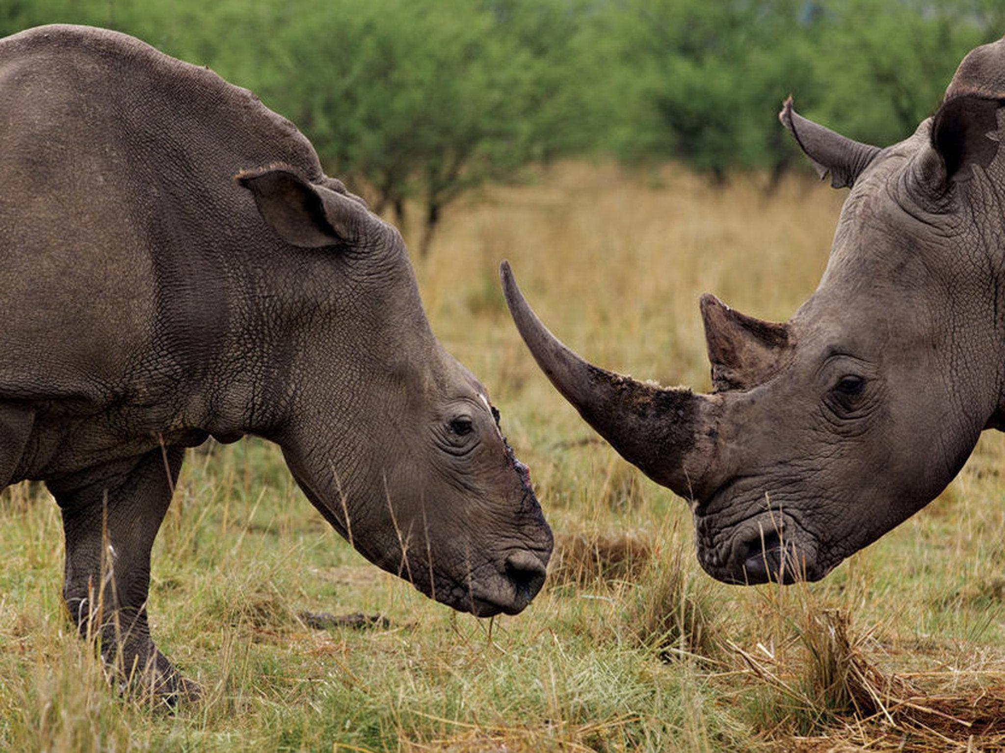 Drawn rhino battle Rhino Province bull companion after