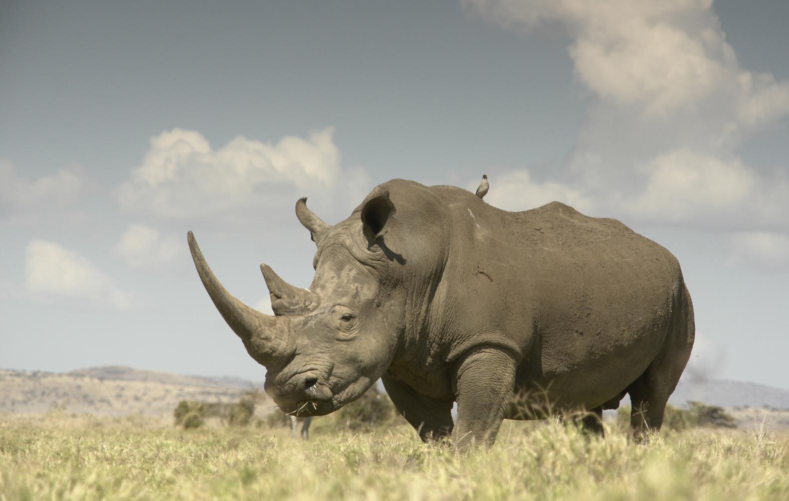Drawn rhino battle For Kenya's Fight for Kenya's