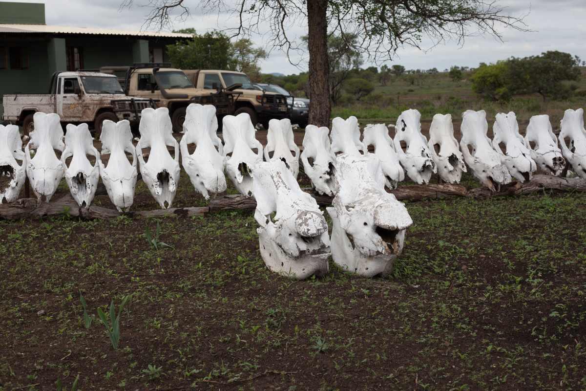 Drawn rhino battle Battle The rhinos in The