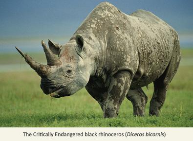 Drawn rhino black rhino Phenomenon poaching: A EDGE Rhino
