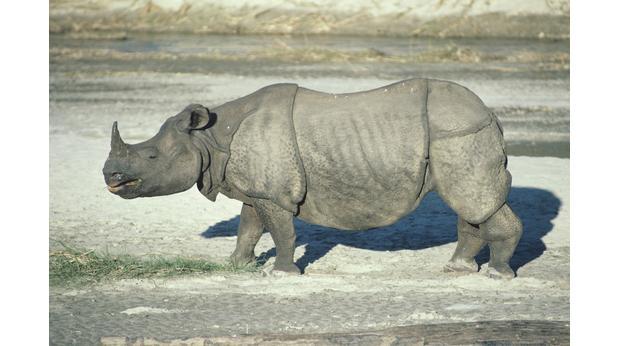 Drawn rhino durer rhino Photo: BBC the 'Rhinoceros' Tom