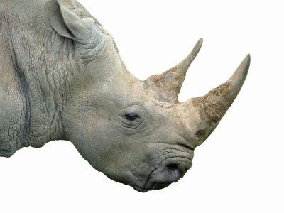 Drawn rhino horn rhino Rhino From Rumour Death Poisoned