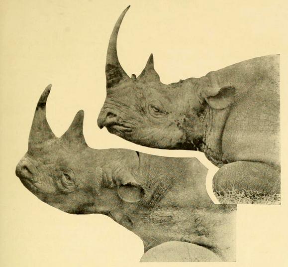 Drawn rhino horn rhino Two rhino Poaching Facts Rhino