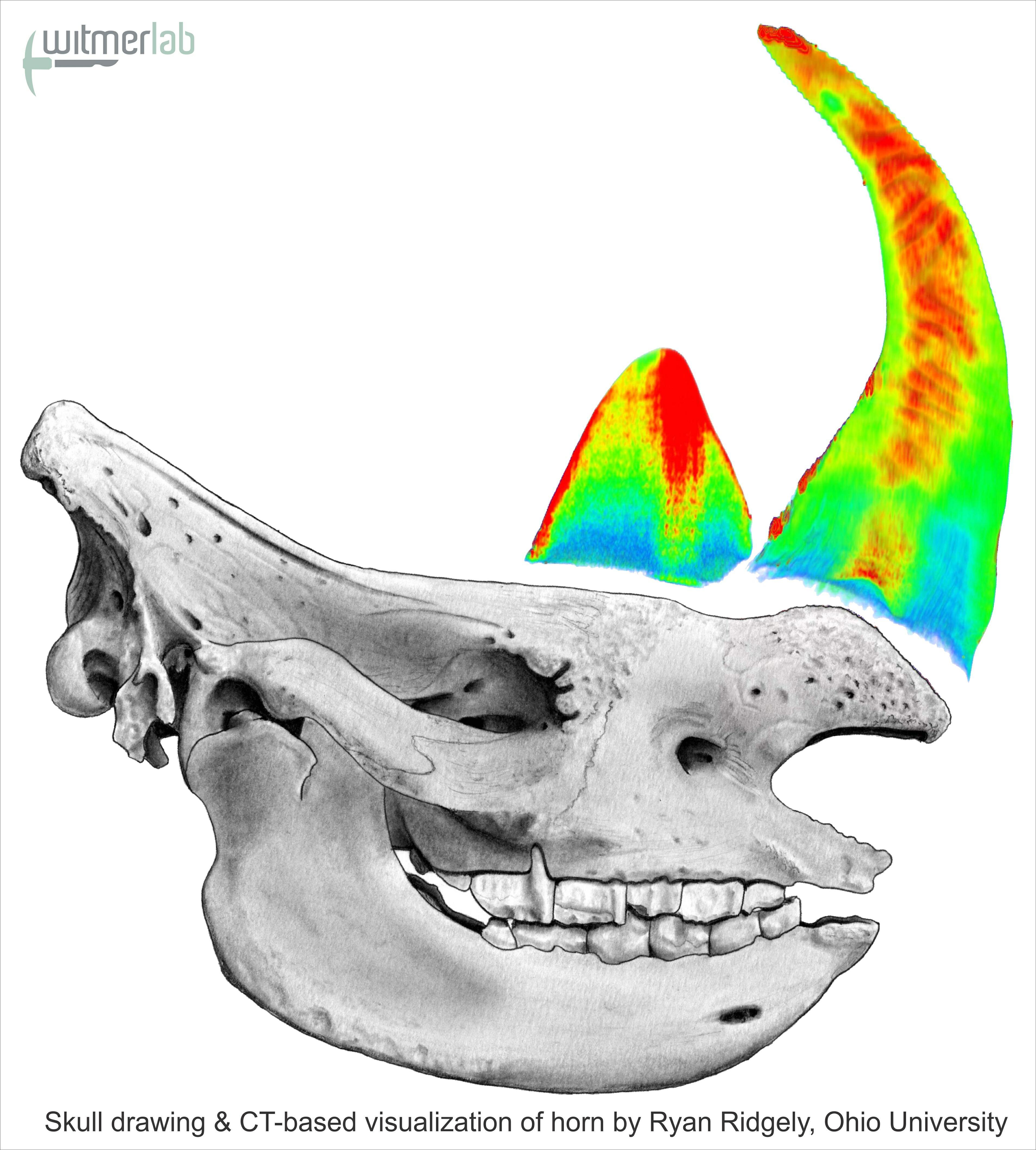 Drawn rhino horn rhino Drawing in portions Growth Rhino