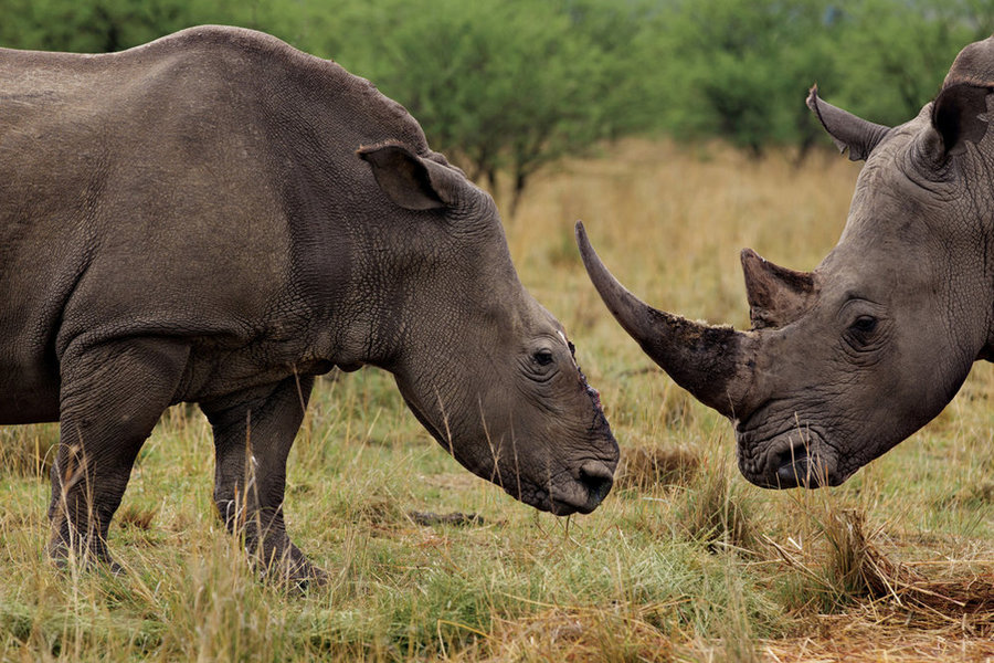 Drawn rhino horn rhino A Picture has Just To