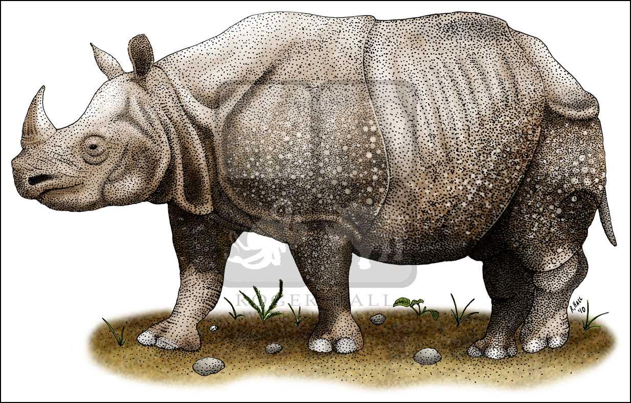Drawn rhino javan rhino (Rhinoceros Sunda Javan  Rhinoceros