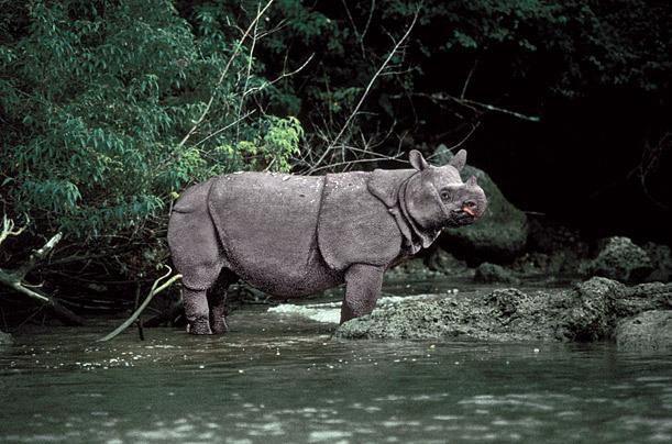 Drawn rhino javan rhino And and Rhino Rhinos Javan