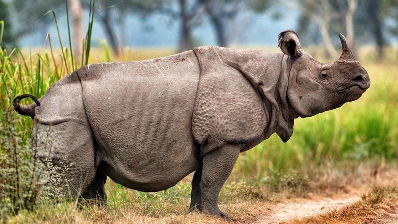 Drawn rhino javan rhino Diet Extinct Javan Facts Rhinoceros