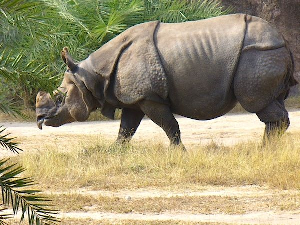 Drawn rhino javan rhino Iyi Rhinoceros one rhinoceros The
