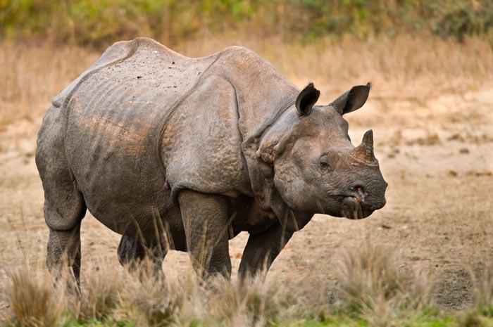 Drawn rhino javan rhino Rhino? Your Javan Favorite Rhino