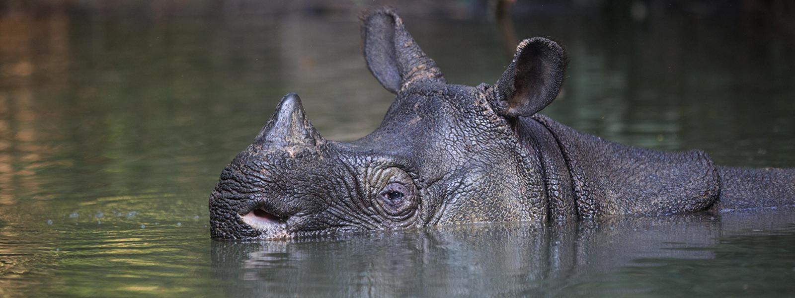 Drawn rhino javan rhino Species javan WWF rhino Rhino