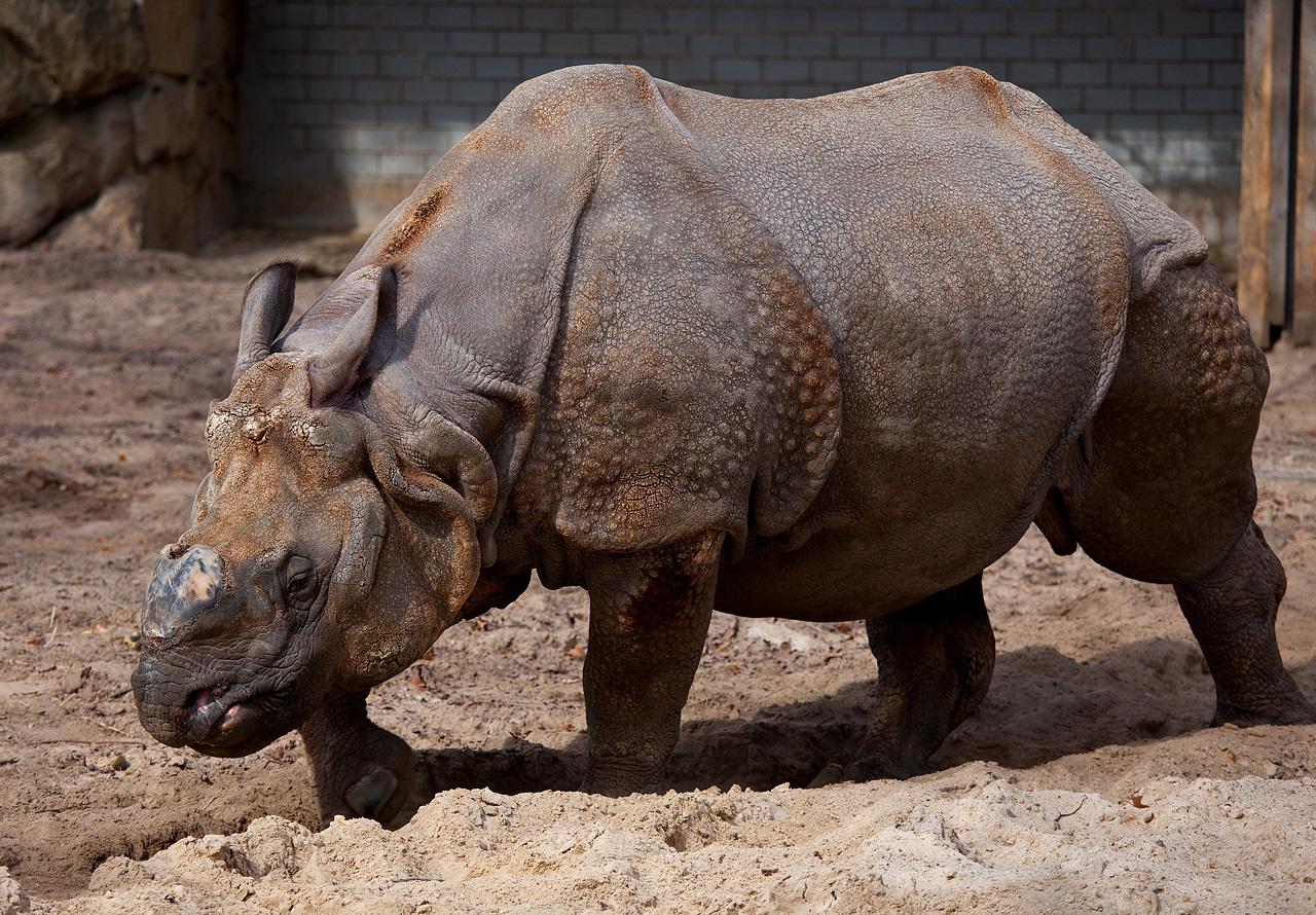 Drawn rhino javan rhino Size Ref calm they animals