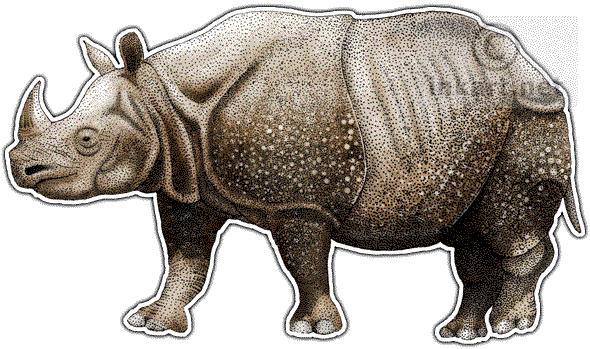 Drawn rhino javan rhino Sunda Javan Javan and or