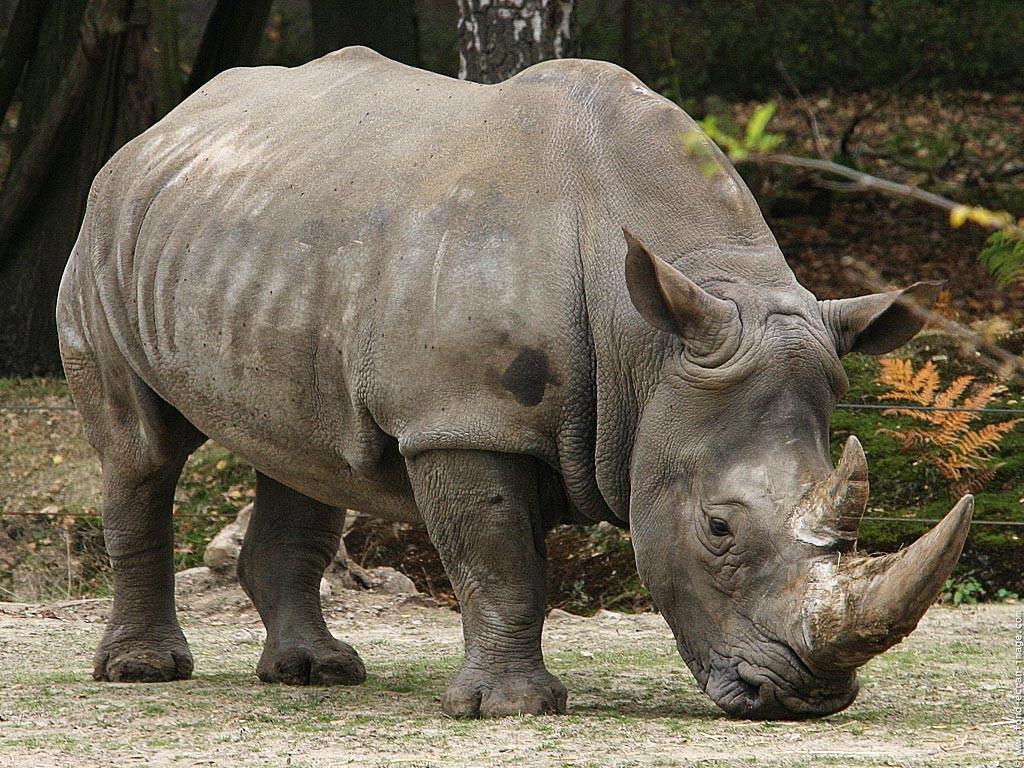 Drawn rhino javan rhino Wallpapers and (pics) javan+rhino (pics)