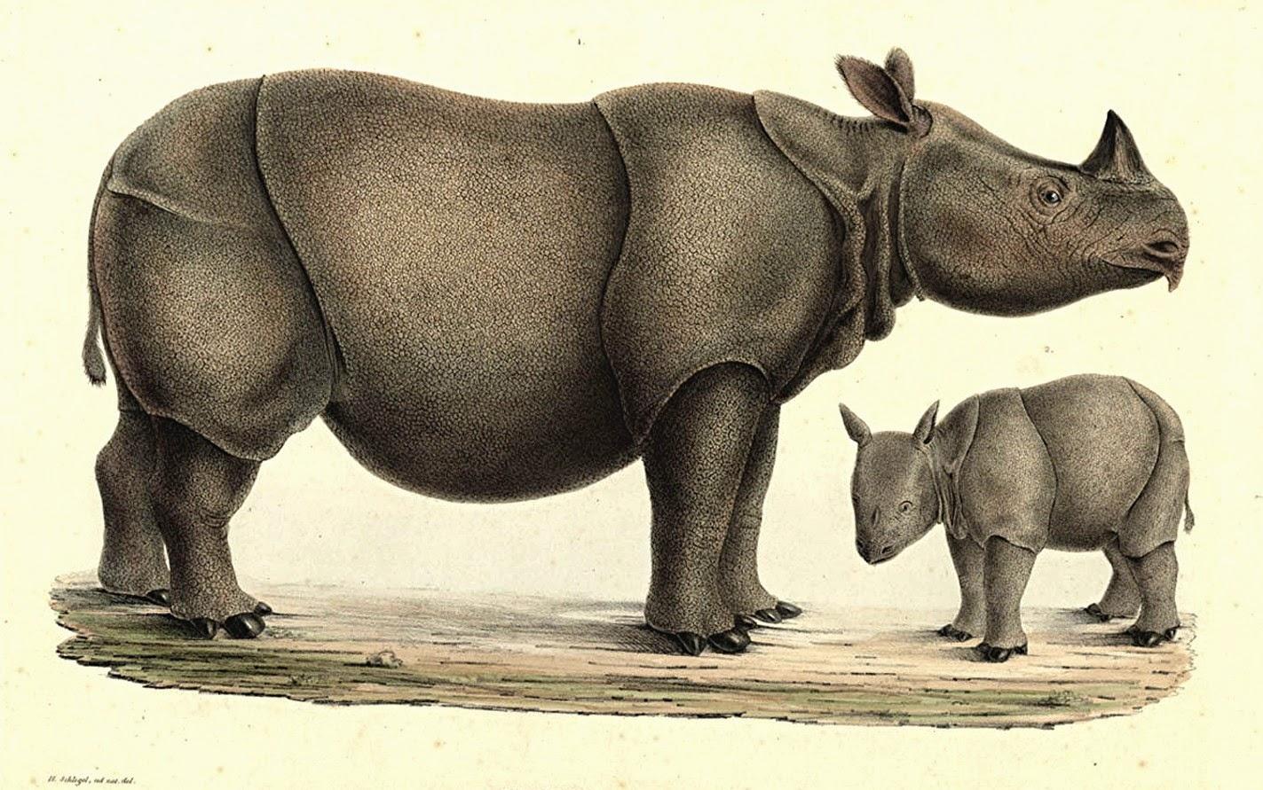 Drawn rhino javan rhino INDONESIA'S domain) as and An