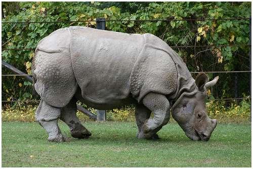 Drawn rhino javan rhino Creature looking beautiful Javan beautiful