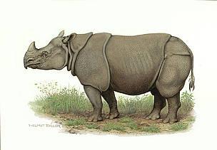 Drawn rhino javan rhino / © Javan WWF rhinoceros