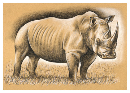 Drawn rhino pencil drawing Rhinoceros a 4 Step How
