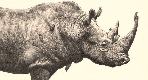 Drawn rhino pencil drawing REALISTIC AND ILLUSTRATIONS pencil a