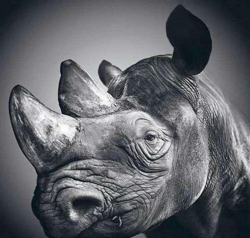 Drawn rhino realistic Realistic ridiculously Realistic Drawings Ridiculously
