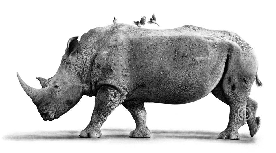 Drawn rhino white rhino And is Protecting Craig paramount