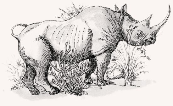Drawn rhino white rhino Black Rhinoceros MpalaLive! White Rhinoceros