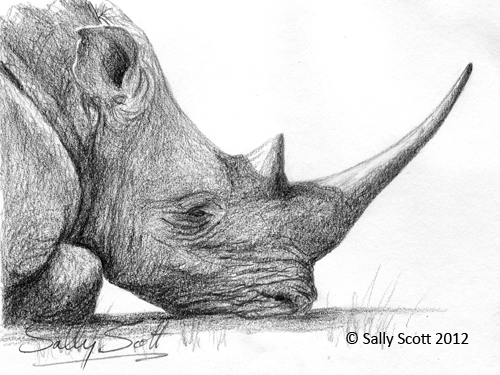 Drawn rhino white rhino Pencil White Sally's Pinboard Rhino
