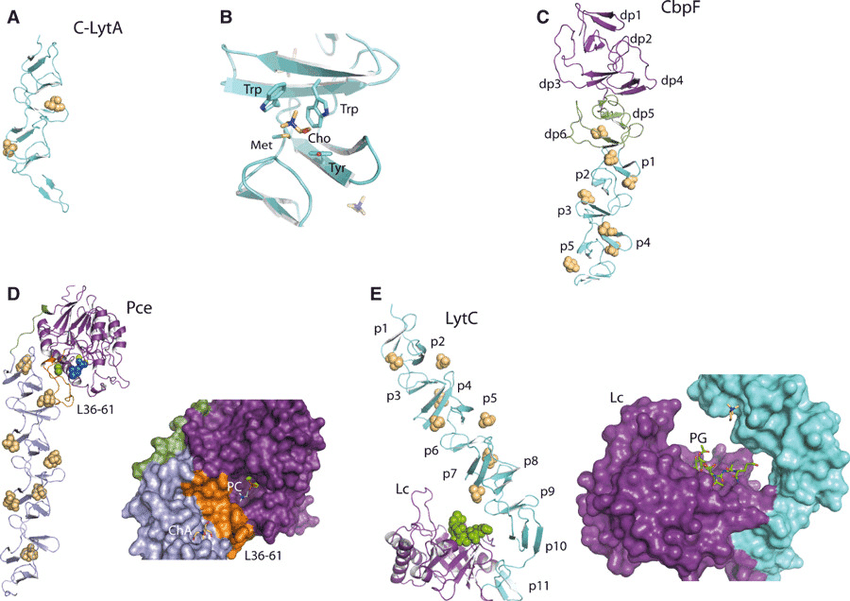 Drawn ribbon protein Structures Three of structures binding