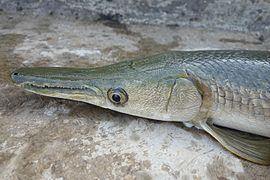 Drawn river monster Wikipedia gar Alligator Monsters River