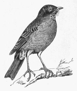 Drawn robin Reusable in use copyright ideas