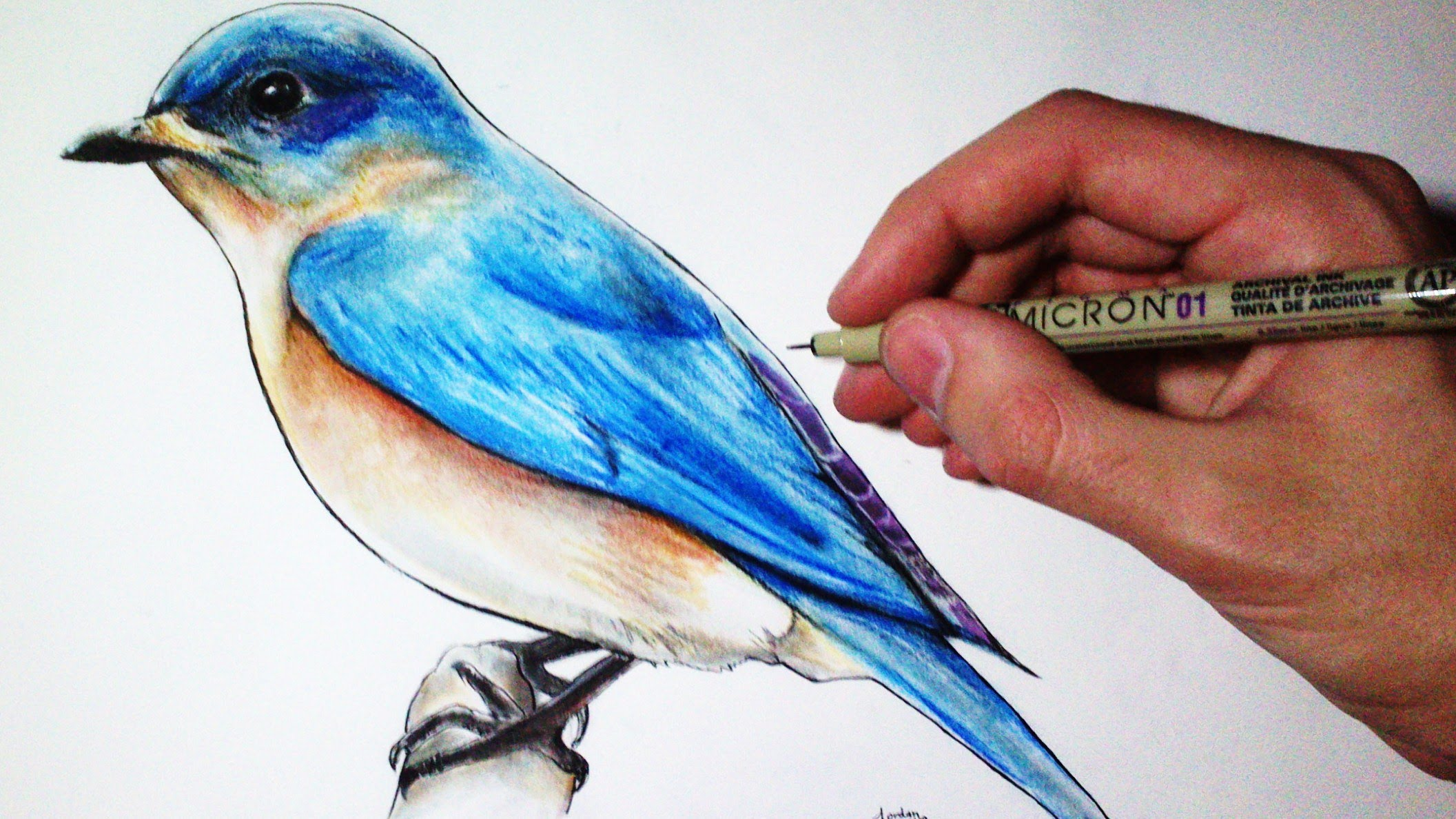 Drawn robin colour Bird Lapse: YouTube Time