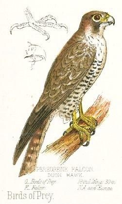 Drawn robin falcon Best is full Falcon color