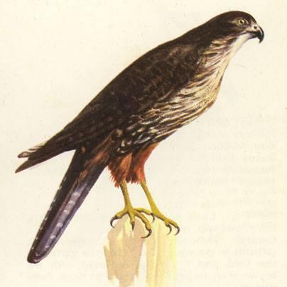 Drawn robin falcon Forest Birds Zealand of Zealand