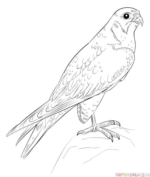 Drawn robin falcon A a How to bird