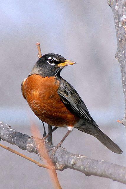 Drawn robin garden Robin ideas Best (Turdus migratorius)
