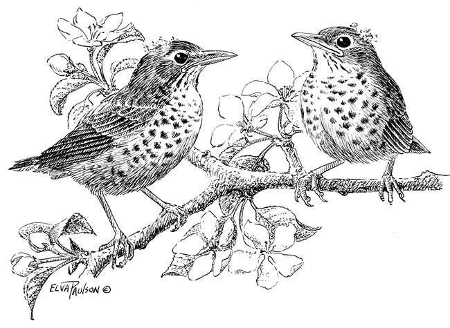 Drawn robin garden On birds about and as