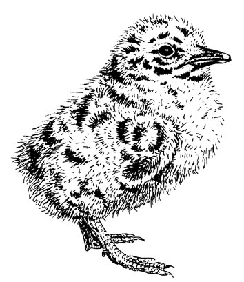 Drawn robin nest Chicks an of Wildlife Living