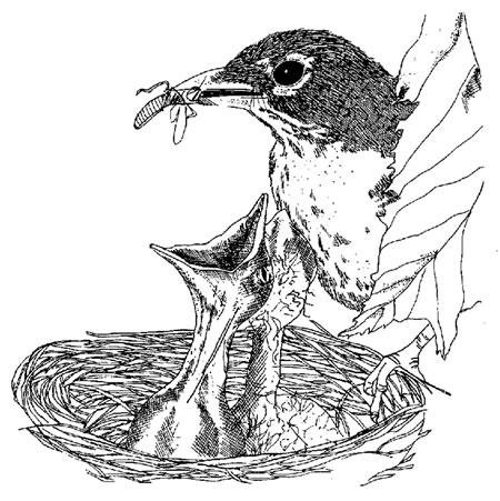 Drawn robin nest Its  Adult Department Robins