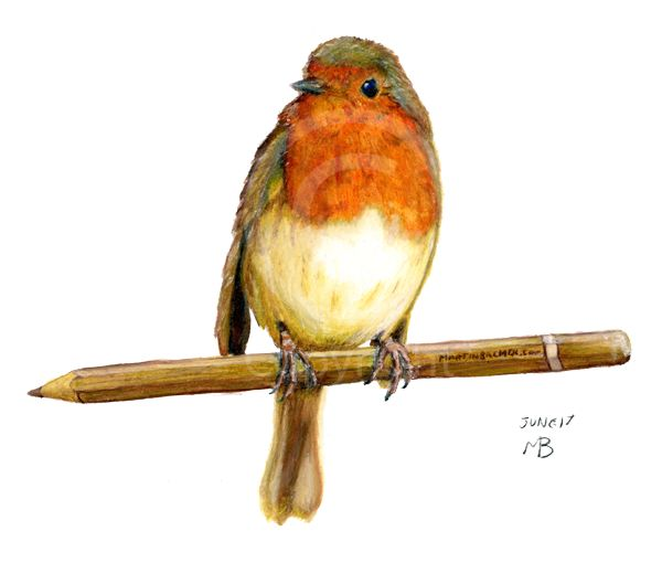 Drawn robin pencil Garden on 16 breast drawings