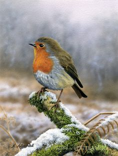 Drawn robin pencil In Nigel Wildlife pencils Artingstall