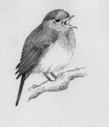 Drawn robin pencil Milloy  Jane