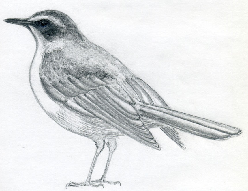 Drawn robin pencil Outline A To by the