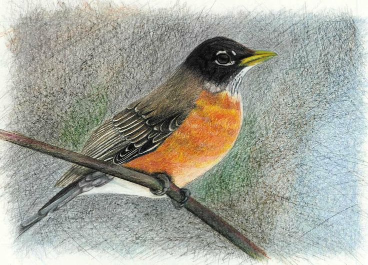 Drawn robin pencil Pinterest drawing colored 107 pencil