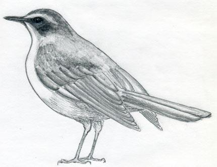 Drawn robin realistic How Realistic & Draw