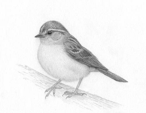 Drawn robin realistic Fine Pencil Birds Blogger Realistic